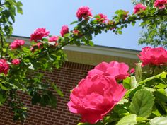 Pruning climbing roses is a little different from pruning other roses. There are a few things you need to consider when cutting back a climbing rose bush. Look at how to prune climbing roses here.