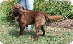 Prattville, AL - Labrador Retriever Mix. Meet Bo 21112, a dog for adoption. http://www.adoptapet.com/pet/11473257-prattville-alabama-labrador-retriever-mix