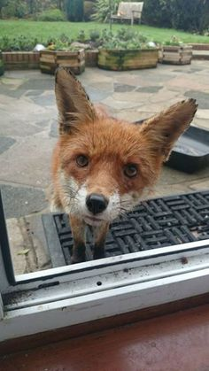 I Too Have A Nosy Fox That Visits! Meet Megan