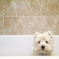 """CONGRATS 〰〰〰〰〰〰〰〰〰〰 """"Bath war is coming soon"""" Cr: @westie.hugo 〰〰〰〰〰〰〰〰〰〰 Please help us to REACH 80K by following @westiegram and TAG your friends on our new post everyday Million THANKS ❤ 〰〰〰〰〰〰〰〰〰〰 Keep following @westiegram and pick your best photo with the tag #westiegram 〰〰〰〰〰〰〰〰〰〰 ⚠⚠⚠⚠⚠ Edited by @westiegram ®™"""
