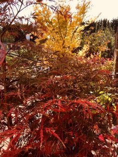 A flame of Acer leaves at our Chichester Garden Centre 🍁 Wholesale Nursery, Garden Centre, Chichester, Autumn Garden, Acer, Garden Inspiration, Leaves