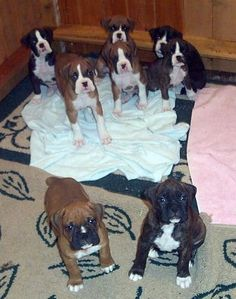 A litter of 8 Boxer puppies sitting on the floor looking up at the person holding the camera