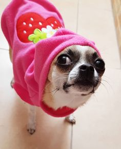 chihuahua puppies clothes & puppies in clothes ` puppies in clothes cute ` puppies in clothes funny ` puppies in clothes pink ` puppies in clothes sweaters ` chihuahua puppies clothes ` puppies clothes ` puppies with clothes Chihuahua Drawing, Chihuahua Clothes, Puppy Clothes, Chihuahua Puppies, Cute Puppies, Chihuahuas, Toy Dog Breeds, Dog Photos, Cute Cats
