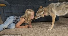 Eight-year-old Girl Keeps Coyote as Family Pet Farm Hero Saga, Working With Children, Cool Pets, Old Men, Dog Life, Year Old, Husky, This Is Us, Coyotes
