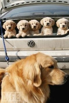 A golden retriever and her adorable litter. as seen on tumblr. #cute