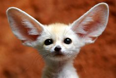 No, this is not a mutant kitten. Or a bizarre chihuahua. Or a strange hybrid bat. It's a Fennec Fox. <3 <3 <3