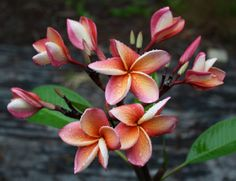 'India' plumeria from Paradiso Tropic Nursery sold for $49.95. http://paradisotropic.com