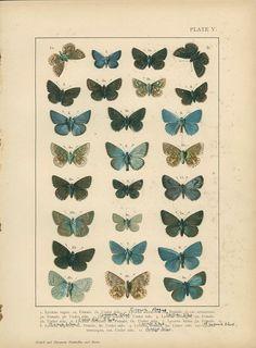 New Butterfly Print, Azure Blue Butterfly, Brown Argus, Pl 5, 1895, Lepidoptera, Natural History, Kirby, Kappel, Deuchert, Slocombe
