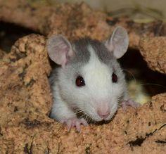 Junge Husky Ratte