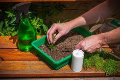 Krok za krokom: Jednoduchý návod, ako získať nové okrasné ihličnany z odrezkov - Pluska.sk How To Dry Basil, Herbs, Plants, Food, Meal, Eten, Herb, Meals, Plant