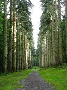 Grand Fir Trees near the beautiful village of Inistiogue, Co. Kilkenny, Ireland.