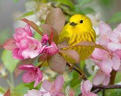 American Yellow Warbler (Setophaga petechia) by Ted Busby.