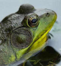 Bull Frogs and their croaks at night Reptiles And Amphibians, Mammals, Pond Habitat, Forest Falls, Green Frog, Lily Pond, Frog And Toad, Beautiful Creatures, Animal Kingdom