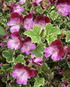Pelargonium Oldbury Duet