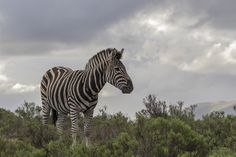 Zebra spotted on a South African Safari Private Games, Game Reserve, African Safari, Wildlife, Animals, Animales, Animaux, Animal Memes, Animal