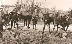 Pioneers at Aveluy Wood with their mules  Sept 1916