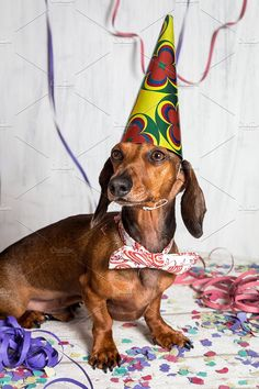 Pet in party hat and bow-tie sitting Photos Portrait of cute Dachshund in party hat on confetti by huertas19