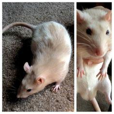 Dream rat a tan hooded rat