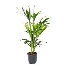Howea forsteriana - Kentia Palm - Purify Your Air - Hortology Palm Plant, Trees To Plant, Plant Leaves, Indoor Plant Shelves, Indoor Palms, Sago Palm, Corn Plant, Liquid Fertilizer, Obi