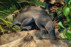 Giant platypus fossil discovered in Queensland Extinct Animals, Platypus, Prehistoric Creatures, Fauna, Fossils, Mammals, Cool Pictures, Elephant, Australia