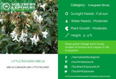 Little-Richard-Abelia blooms into lovely white flowers with bronze-green foliage