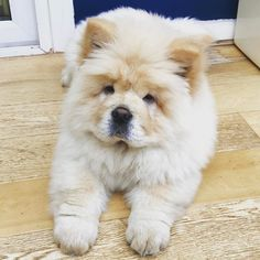 Must see Boo Chubby Adorable Dog - a80ac67126cacd0038271cab2624d083--chow-chow-dog-stuff  Perfect Image Reference_27219  .jpg