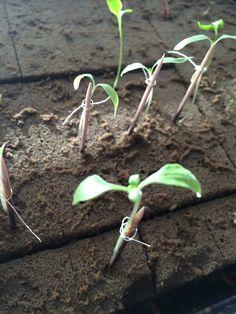 DIA 26.- Algunas plantas de jitomate ya están muy grandes y fuertes, incluso ya tienen 4 hojas. Montse 3 Mar