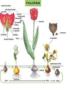 tulipán - stavba květu