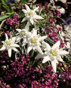 The Alps flora and fauna is unique as well: the Edelweiss, Austria's national…