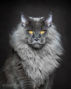 My Modesty is 2/3 mainecoon, she has the same silver/grey fur but a bit shorter mane.Her fur gets on absolutley everything...damn =µ)