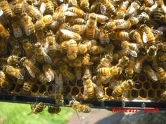 I was checking a hive that had a queen due to emerge soon when I saw all of these bees in a ball--not generally a good thing to. see. The next pic shows what I saw when I brushed some of the girls back