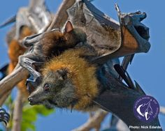 Grey Headed Flying Fox mother and pup