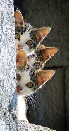The three little kittens, they thought that they were hidden......