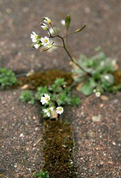 'Hungerblümchen' von Heidrun Lutz bei artflakes.com als Poster oder Kunstdruck $16.63 #wildblume