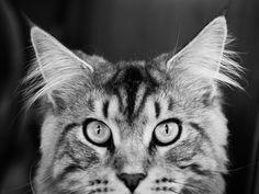 Lifesyle Portrait Photography, serving Allendale NJ and surrounding areas Artistic Portrait Photography, Maine Coon, Pet Portraits, Newborn Photography, Kitty, Pets, Studios, Animals, Sweet