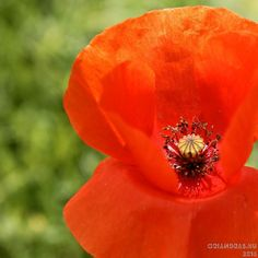 Tavaszi emlék. #pipacs #poppy #flowerphotography #spring #latergram #balaton #hungary #canonhun #canon #nofilter
