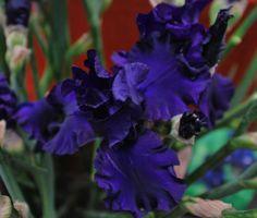 Viola viola viola iris! #orticola #iris