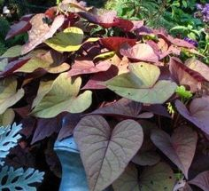 Ipomoea Sweet Caroline Sweetheart Red (Sweet Potato Vine)--heart shaped leaves.  My 2013 exiperiment as a ground cover.