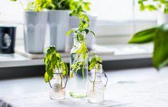 Odla vidare på kryddväxter från affären