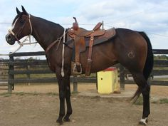 Brown Quarter Horse Gelding. I would be perfectly satisfied with this guy. He looks great!
