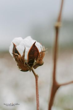Single Cotton Bud in a Cotton Field. Images of the South.