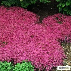 Red Creeping Thyme (Thymus Serpyllum 'Magic Carpet') hardy drought tolerant perennial, pink lemon-scented blooms all summer, inches tall. Red Creeping Thyme, Creeping Phlox, Thymus Serpyllum, Ground Cover Plants, Full Sun Ground Cover, Low Growing Ground Cover, Perennial Ground Cover, Ornamental Grasses, Lawn Care