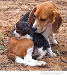 Mama beagle and her beagle puppy together. To sweet! <3