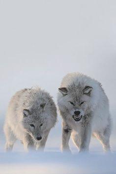 Lobos!