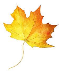 Yellow Maple Leaf.