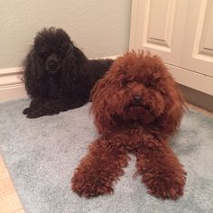 Red Poodle....hanging with my cousin Lola.. It was fun to have a buddy for the week!