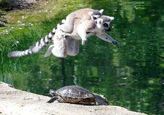 Ringtail lemurs at Indianapolis Zoo    Photo by Gabi Moore