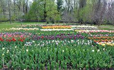 Martha's tulip garden!!! #newgoal
