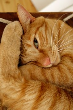 Red Tabby Cat loafing