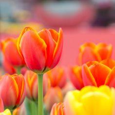 Tulips pink yellow